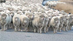 loup-mouton